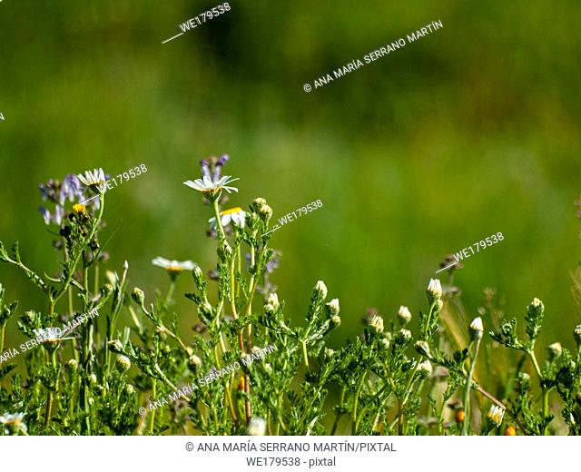 Daisies in bloom in spring with green bokeh background