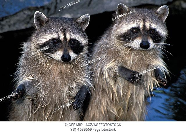 Raccoon, procyon lotor, Adults standing on Hind Legs