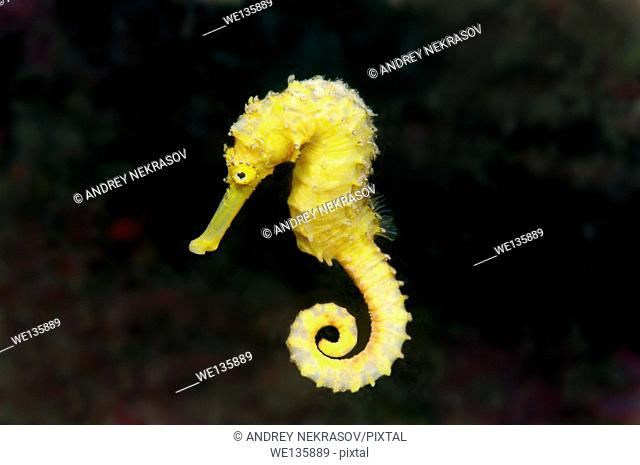 Spotted seahorse (Hippocampus Kuda) Bohol Sea, Cebu, Philippines, Southeast Asia