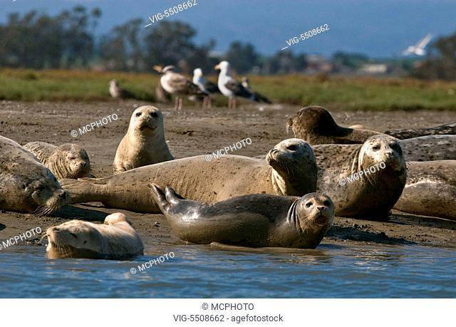 USA, NATIONAL PARKS, 26.08.2007, HARBOR SEALS (PHOCA VITALUNA) an endaned species on the banks of ELKHORN SLOUGH - MOSS LANDING , CA - National Parks, USA