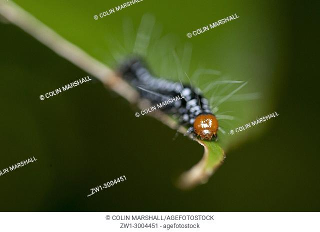 Caterpillar (Lepidoptera order) with long hairs for protection on tree branch, Klungkung, Bali, Indonesia