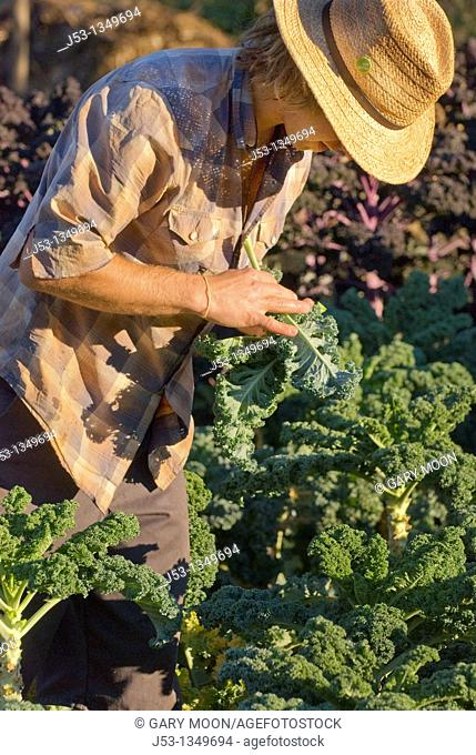 Young man picking kale and checking for aphids, on small organic farm, Nevada City, California