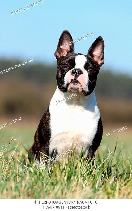 sitting Boston Terrier