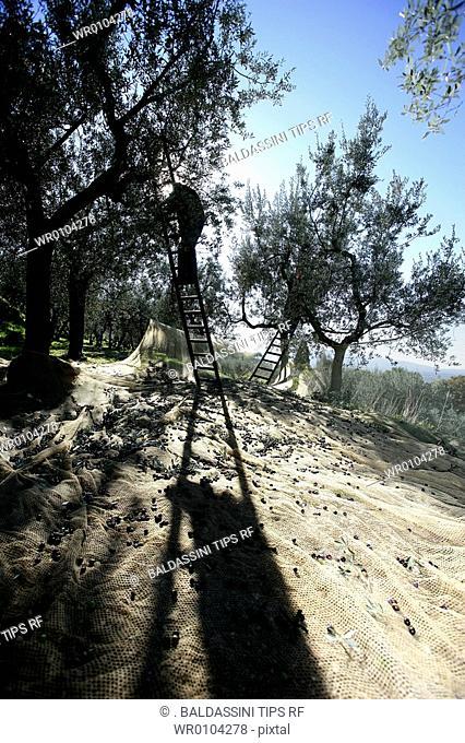 Italy, Umbria, Trasimeno lake, San Feliciano. Olives harvesting