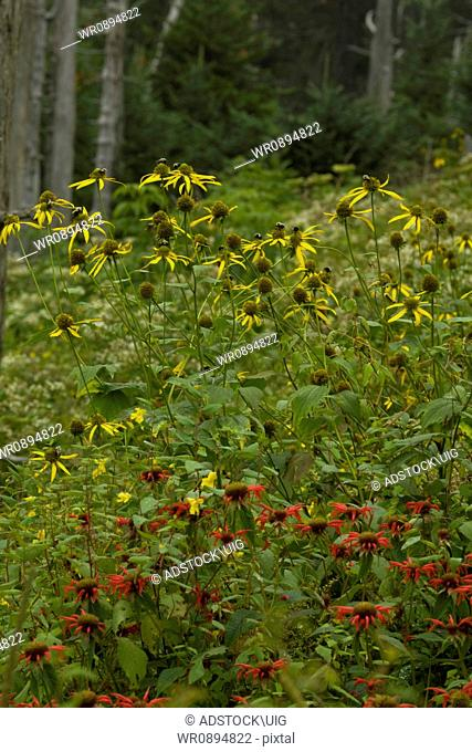 Wildflowers, Clingmans Dome, Great Smoky Mtns NP