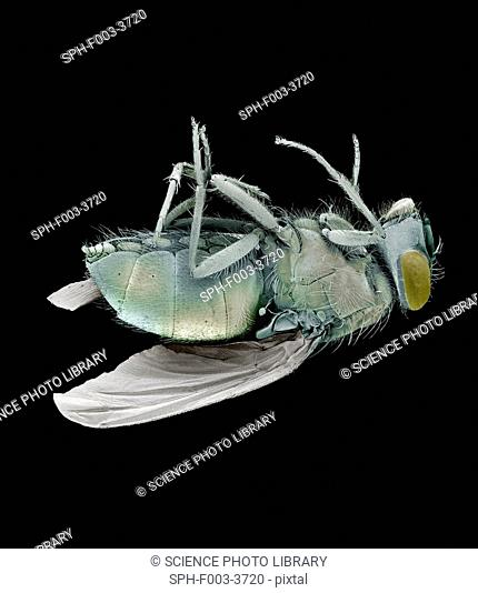 Dead bluebottle fly Calliphora vomitoria, coloured scanning electron micrograph SEM. Magnification: x10 when printed at 10 centimetres wide