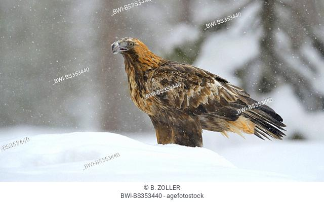 golden eagle (Aquila chrysaetos), in heavy snowfall, Finland, Kuusamo, Oulanka National Park