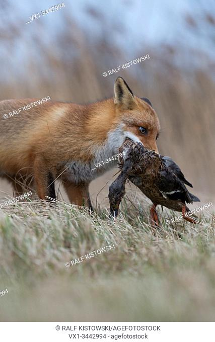 Red Fox / Rotfuchs ( Vulpes vulpes ) hunting, with prey in its muzzle, grabbed, carrying a duck with / in its jaws, wildlife, Europe