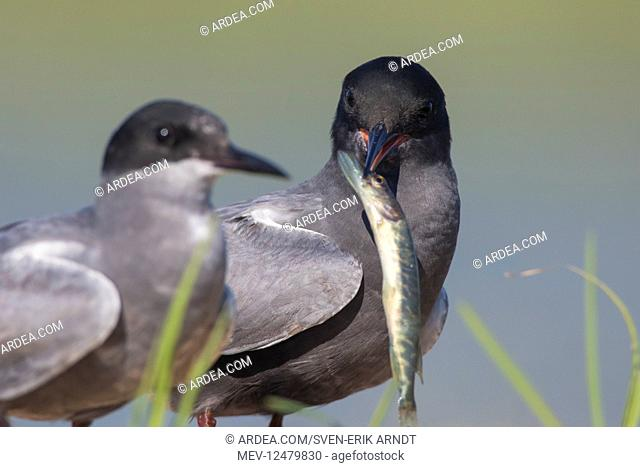 Black Tern - adult terns with a fish - Germany