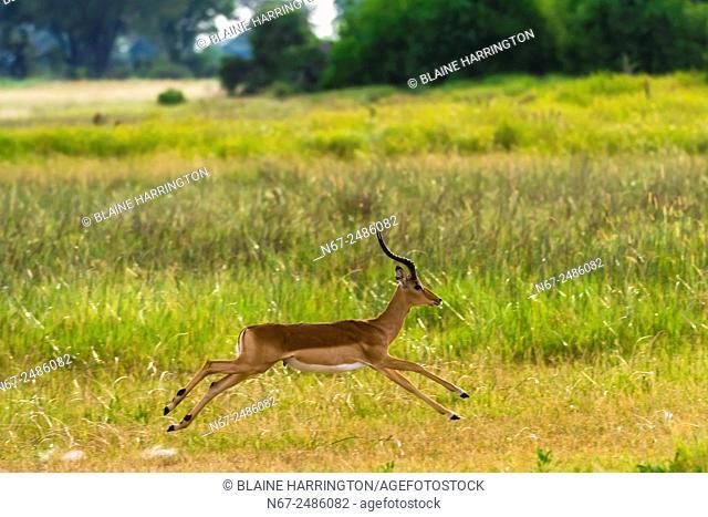 An impala running, near Kwara Camp, Okavango Delta, Botswana
