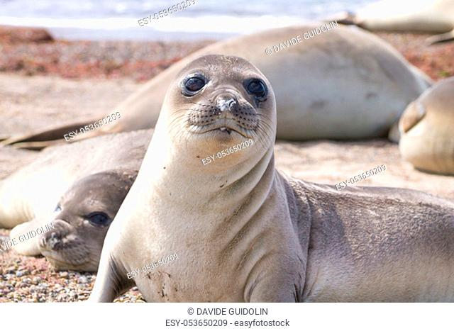 Elephant seal on beach close up, Patagonia, Argentina. Isla Escondida beach. Argentinian wildlife