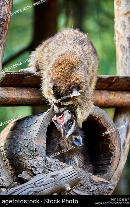 North American raccoon, Procyon lotor, Bavaria, Germany, Europe