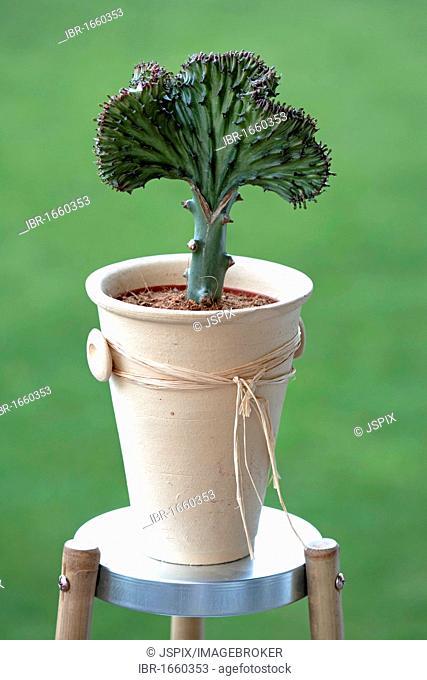 Mottled Spurge, Frilled Fan or Elkhorn (Euphorbia lactea), Germany