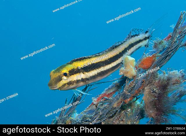 Shorthead Fangblenny (Petroscirtes breviceps), Aer Bajo dive site, Lembeh Straits, Sulawesi, Indonesia