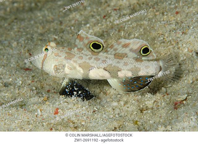 Signal Goby (Signigobius biocellatus), Raining Anchovies dive site, Farondi Island, Misool, Raja Ampat (4 Kings), West Papua, Indonesia