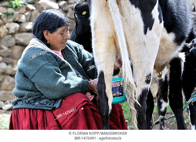 Dairy cow farming, old woman milking cow, Altiplano Bolivian highland, Oruro Department, Bolivia, South America