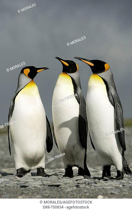 King Penguin (Aptenodytes patagonica). Salisbury Plain, South Georgia, SGSSI, UK