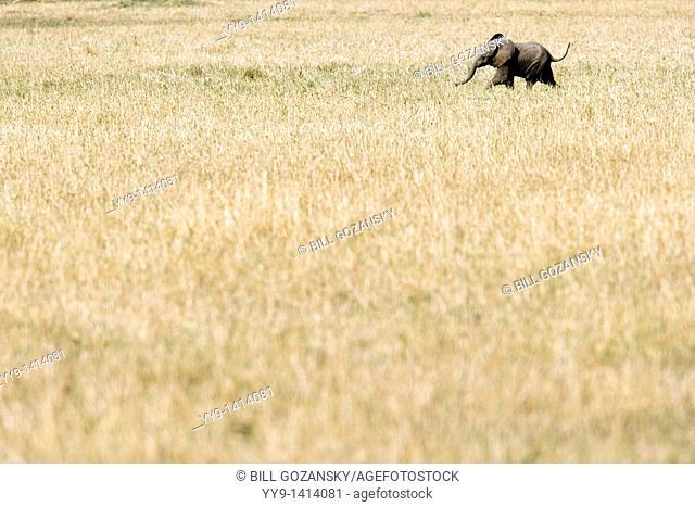Baby African Elephant - Masai Mara National Reserve, Kenya