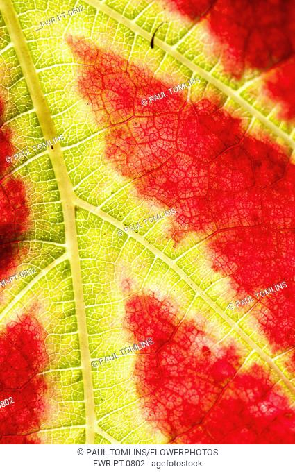 Vitis vinifera Queen of Esther, close cropped view of red and yellow, variegated leaf