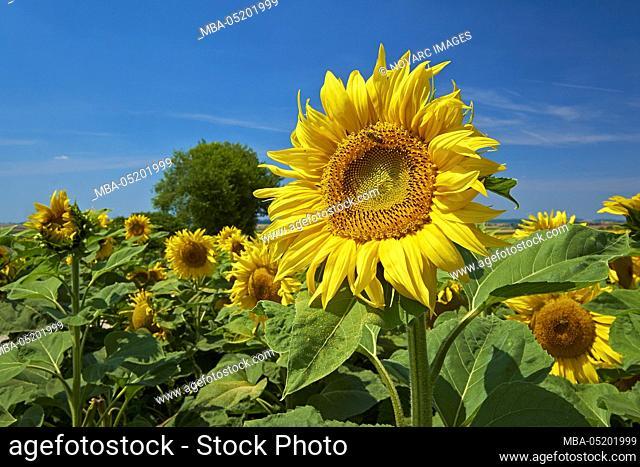 Sunflower field near Aub, Lower Franconia, Bavaria, Germany