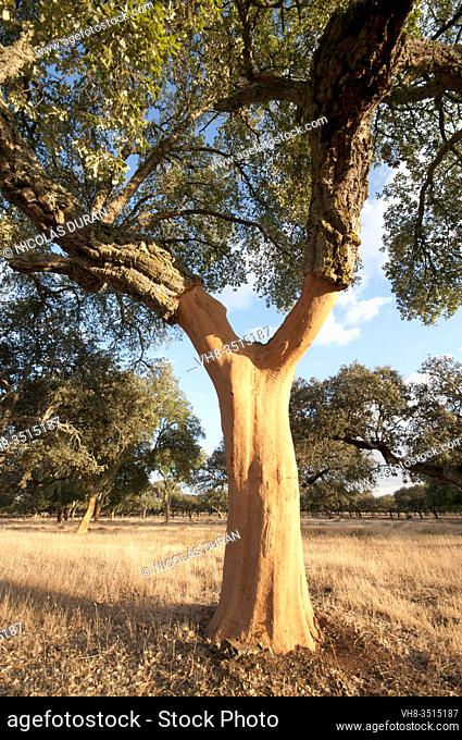 Descorche (cork extraction), Sierra de San Pedro, Extremadura, Spain
