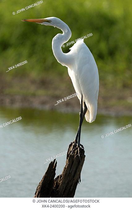 Great egret (Ardea alba), Maryland, USA