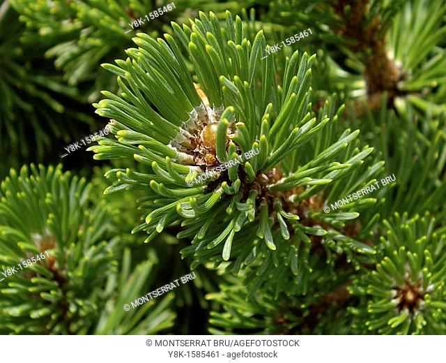 Fir tree closeup
