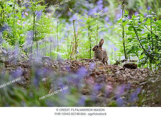 European Rabbit (Oryctolagus cuniculus) adult, standing amongst Common Bluebell (Hyacinthoides non-scripta) flowers and ferns in deciduous woodland