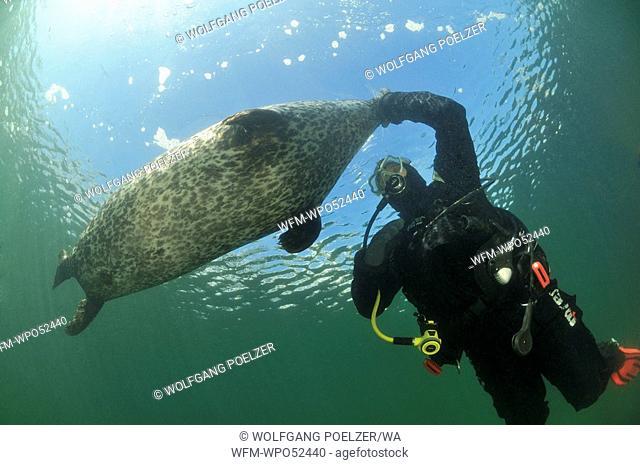 Diver and Common Seal, Phoca vitulina vitulina, Warnemuende, Rostock, Baltic Sea, Germany