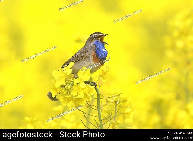 White-spotted bluethroat (Luscinia svecica cyanecula) male calling / singing in flowering rape field / rapeseed field in spring
