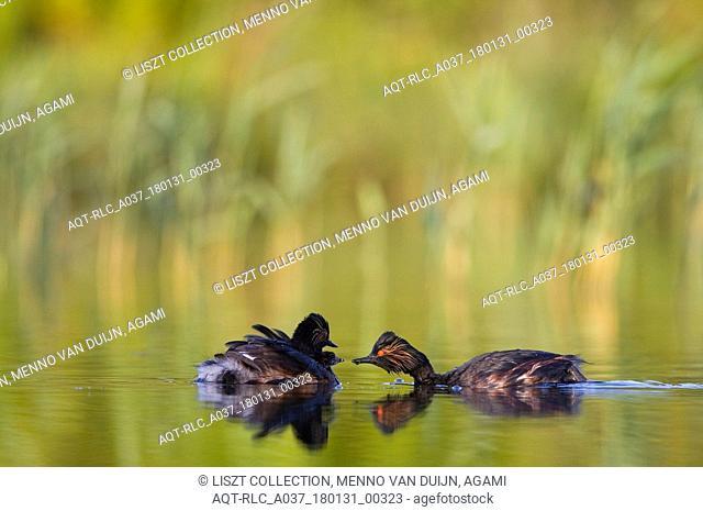 Adult Black-necked Grebe in summer plumage, Black-necked Grebe, Podiceps nigricollis