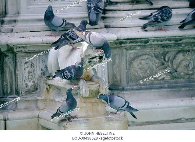 Italy, Central Tuscany, Siena, pigeons gathered around fountain-sculpture