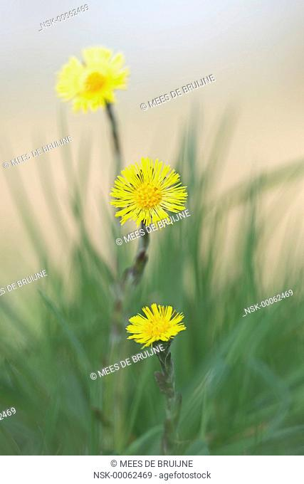Coltsfoot (tussilago farfara) flowering, The Netherlands, Noord-Brabant