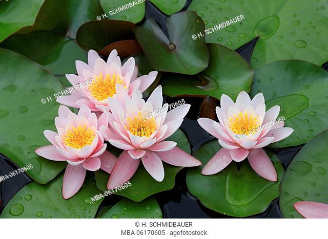 Water lilies in water, Nymphaea