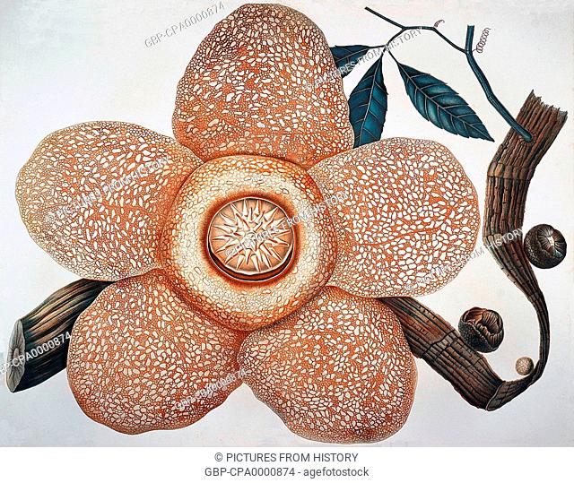 Indonesia: Rafflesia arnoldii produces the largest individual flower of any species in the world. Kota Bogor, Java