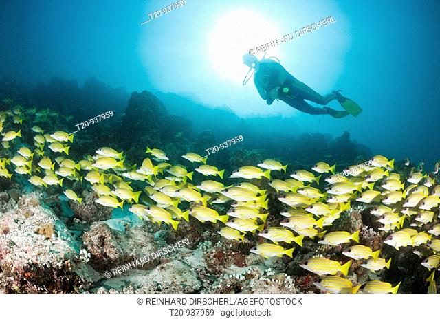Shoal of Bluestripe Snapper and Diver, Lutjanus kasmira, Medhu Faru Reef, South Male Atoll, Maldives