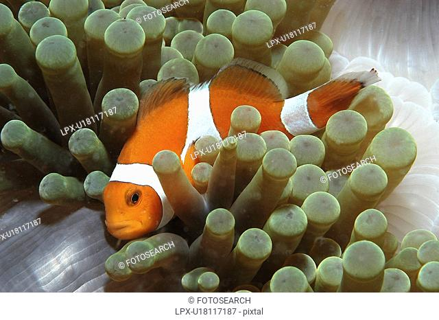 Clown Anemonefish Amphiprion percula, Nemo type clownfish amidst anemone's tentacles, Sipidan, Mabul, Malaysia, South China Sea