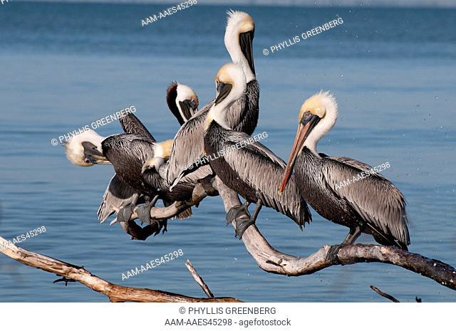 Brown Pelican (Pelecanus occidentalis) Group Resting & Preening  Fort Myers Beach, Fl  2011  Digital