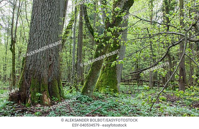 Natural deciduous forest in springtime with old linden tree in foreground, Bialowieza Forest, Poland, Europe