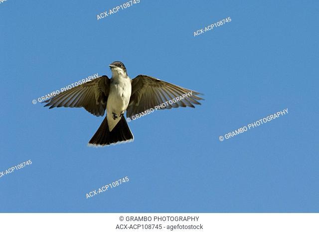 Eastern Kingbird, Tyrannus tyrannus, Saskatchewan, Canada