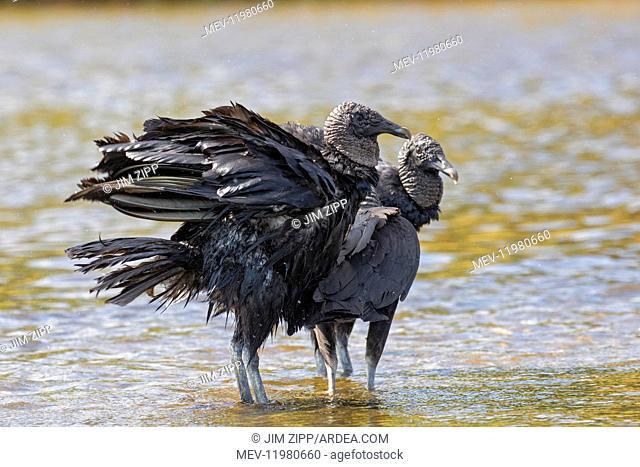 Black Vulture in Myakka State Park in Florida