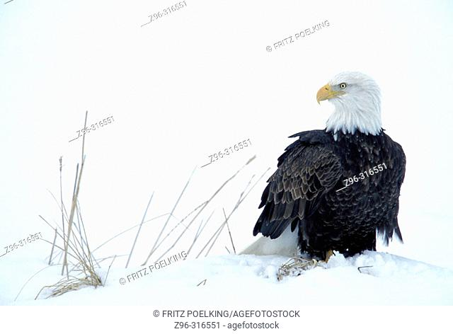 Bald Eagle (Haliaeetus leucocephalus). Homer. Alaska, USA
