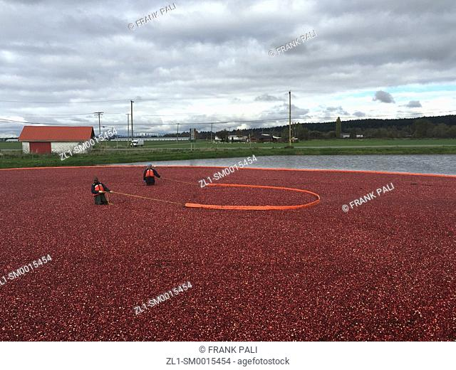 Cranberry Harvest Celebration in Delta BC. . These cranberries, are wet harvested with varied colors, are destined for processing into juice, flavoring