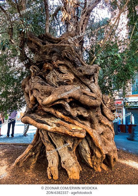 Der Stamm eines sehr alten Olivenbaumes in Palma, Mallorca, Spanien