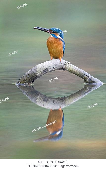 Common Kingfisher Alcedo atthis adult male, feeding, with Nine-spined Stickleback Pungitius pungitius prey in beak, perched on fallen branch with reflection