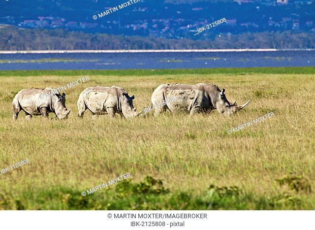 Three White Rhinoceroses or Square-lipped Rhinoceroses (Ceratotherium simum), adult animals, Lake Nakuru National Park, Kenya, East Africa, Africa, PublicGround