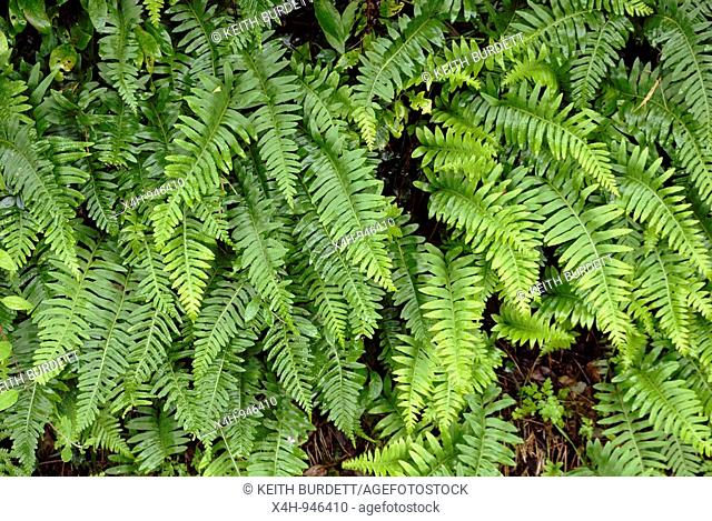 Polypodium vulgare, Common Polypody, Wales