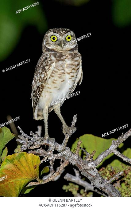 Burrowing Owl (Athene cunicularia) perched on a branch in the grasslands of Guyana