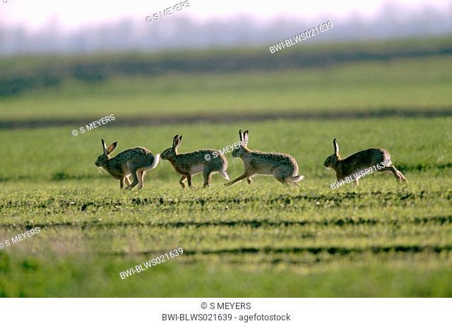 European hare Lepus europaeus, following each other in mating season, Austria, Burgenland, Neusiedler See, April 03