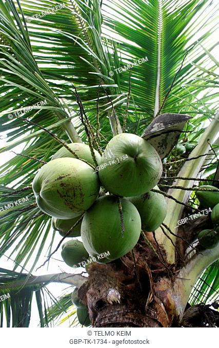 Palm tree, Angra dos Reis, Rio de Janeiro, Brazil